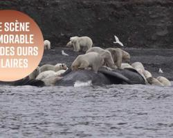 Comment mettre d'accord une centaine d'ours polaires ?